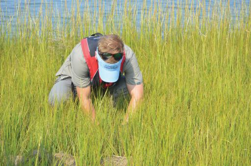 Chris Bason examines a bit of marsh in the Rehoboth Bay.