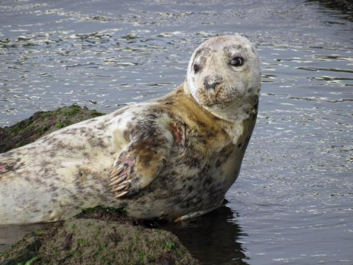 The MERR (Marine Education, Research & Rehabilitation) Institute this week issued a reminder to the public that seals are once again present along Delaware beaches and other waterways. From December through April, it is common to see seals on the area's beaches, docks and other locations where they can get out of the water to rest.