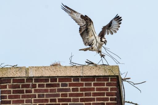 One of the osprey prepares the nest last spring atop Lord Baltimore Elementary School in Ocean View.
